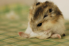 Clear... (EricFlickr) Tags: pet cute animal taiwan hamster