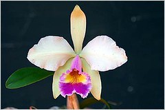 Cattleya luteola x guttata x white face x kay francis (nilgazzola) Tags: brasil de foto sp ou com orquideas tirada maquina echapora gazzola nilceia nilgazzola asfloresmaislindasminiaturasmini grandestamanhosorquideas