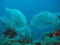 Giant sea fans (sula113) Tags: blue indonesia sula abigfave anawesomeshot seafans flickersbest top20blue top20everlasting