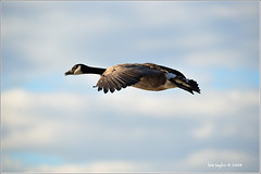 Able to Leap Large Marshes in a Single Bound (Finiky) Tags: winter bird birds geese flight finiky birdsinflight waterfowl 2008 canadageese d3 huntleymeadows featheryfriday afewofmyfavoritethings supergoose diamondclassphotographer