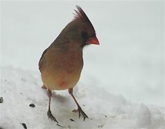 The Lady Cardinal ~ (**Mary**) Tags: winter snow toronto ontario canada bird nature ilovenature seasons wildlife urbannature cardinaliscardinalis northerncardinal femalenortherncardinal
