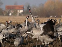 P2132069 (lutz6lucker) Tags: cranes kraniche grues cendrées