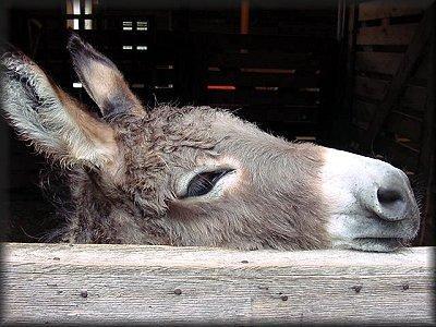 Un burro en sueños