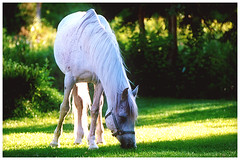 Cisco (dance epidemic) Tags: horses horse green alaska idaho pony ponies arabian arabianhorse equestrian grazing equine equus