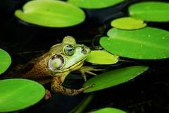 He may be chillin but I am gonna be hoppin (tammyjq41) Tags: frog atlantabotanicalgardens tjs tjd abigfave