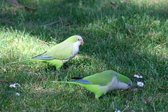 Monk Parakeet, Quaker Parrot, (Myiopsitt by tartaruga33, on Flickr