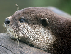 Just a Lazy Sunday Afternoon... (law_keven) Tags: england animal animals kent otter eagleheightswildlifepark photoexel