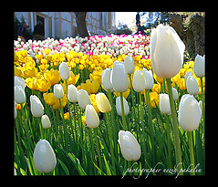 tulips in the garden (photographer nezih) Tags: flower yellow fdsflickrtoys nikond70 loveit tulip florist lovely bahe picturesque sonnenblume manzara smrgsbord yeil sar aa nezih emirgan blueribbonwinner doa artisticexpression supershot lovelyphotos flickrcolour platinumphoto superbmasterpiece diamondclassphotographer flickrdiamond excellentphotographerawards flickrelite onlythebestare thatsclassy flowerwatcher excapture betterthangood theperfectphotographer damncool simplysuperb mailciler flickrestrellas flickrstas excellentsflowers thebestofday gnneniyisi clevercreativecaptures llovemypic multimegashot alwayscomment5 rubyphotographer mimamorflowers showmeyourqualitypixels kartpostalpostcard