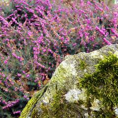 Parc de Maulévrier - Pierre, mousse et bruyère violette