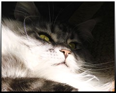Licht und Schatten - light and shade (Barbara Mller-Walter) Tags: pet macro smart animal cat germany deutschland hessen maine coon maxwell katze kater gemany wetterau jorbasa