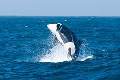 Orca Breach #1 - Monterey Bay National Marine Sanctuary, California (Jim Patterson Photography) Tags: ocean california sea nikon pacific watching whale orca killerwhale breaching mosslanding breach orcinusorca transient d300 nikontc14eii nikon70200mm mbnms nikond300 montereybaynationalmarinesanctuary beneathblueseas beneathblueseascom jimpattersonphotography jimpattersonphotographycom seatosummitworkshops seatosummitworkshopscom