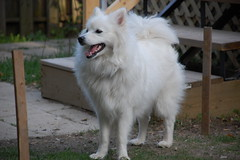 easty westy (Julep67) Tags: friends dog pet pets white house ontario canada male home yard puppy happy friend sam digging fluffy buddy kingston american sniffing americaneskimodog americaneskimo may2008 julep67 nikond40
