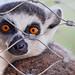 Lemur behind the mesh