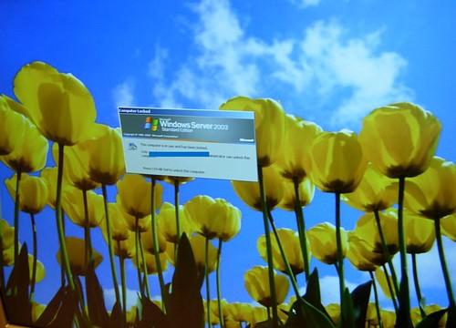 Desktop Tulips