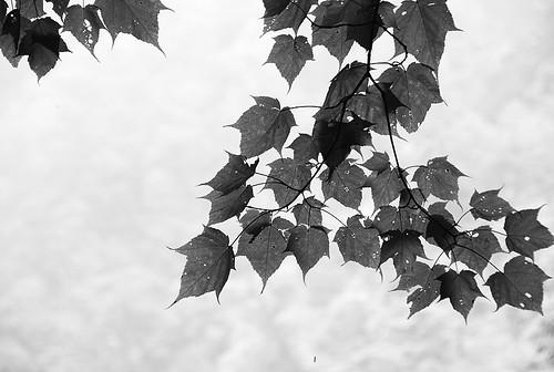 透光的葉子