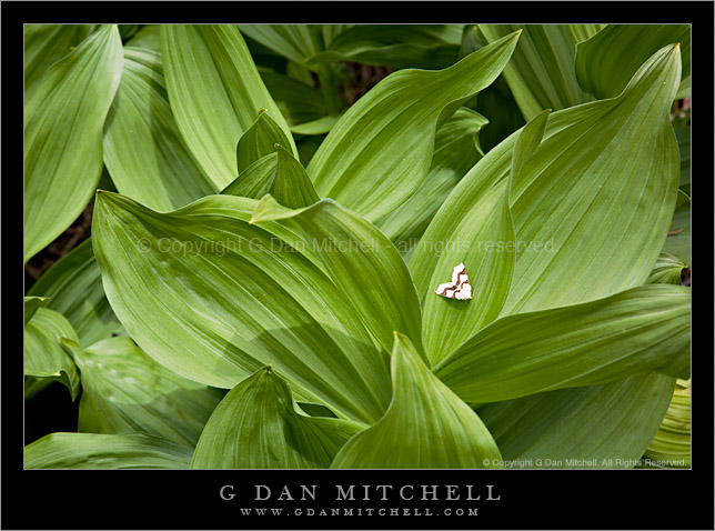 Moth and Corn Lily Leaves