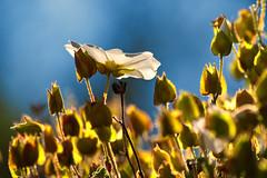 Open & Closed (Theophilos) Tags: nature spring crete wildflowers rethymno κρήτη φύση άνοιξη αγριολούλουδο ρέθυμνο