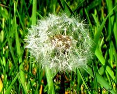 Star Lit Dandelion (**Ms Judi**) Tags: life flower beautiful grass closeup stars weed shiny pretty sweet country sharp gift magical radiant dandy enchanting delcious dandlion godsgift msjudi judistevenson judippc photographybymsjudi starlitdandelion