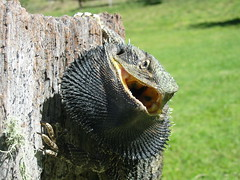 Eastern Bearded Dragon by wollombi, on Flickr