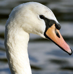 I'm ready for my close up... (law_keven) Tags: fab england bird london swan dof feathers hydepark fowl avian feathery wildfowl naturesfinest blueribbonwinner featheryfriday explore500 abigfave superbmasterpiece theperfectphotographer