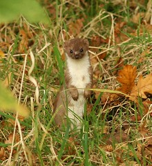 Stoat (I was so excited to see this!) (nutmeg66) Tags: november autumn nature fauna lincolnshire mammals 2007 stoat naturesfinest naturereserves sigma105mm snipedales supershot 400d lincolnshirewildlifetrust