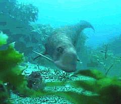 25 Odobenocetops has a bizarre tusk