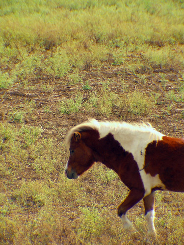 Mini Horse 1
