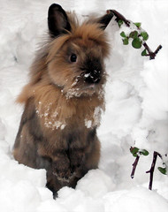 Winter Taste (Firenzesca) Tags: winter snow rabbit bunny blu neve taste inverno arturo coniglio aplusphoto heartawards platinumheartaward