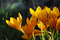 Zaafaran-Crocus (A. Saleh) Tags: flowers lebanon yellow explore naturesfinest asaad asaadsaleh removedfromnikkorfortags mywinners ysplix lebaneseadventure