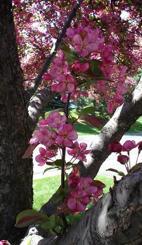 cherry_tree4