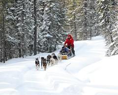 Chiens de traînaux (Rock Arsenault) Tags: chien 10faves flickrsbest photoquebec