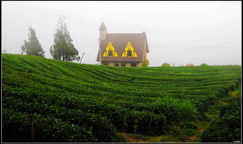 The Foggy Tea Plantation