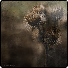 Funny time of year (moggierocket) Tags: flower nature square spiky dof sticky worn brushes burdock asteraceae scotchthistle bethgibbons fauxvintage d80 artlibre platinumphoto betterthangood avertedvision