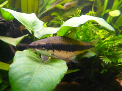 fish aquarium tank siamese sae algae eater crossocheilussiamensis plantsplantedtank