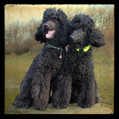 Darius And Darleen (Steffen Jakob) Tags: dog dogs animal geotagged tiere hund poodle soe hunde tier bigd standardpoodle darius pudel darleen knigspudel ttvfake permpublic geo:lat=48270462 geo:lon=16366614