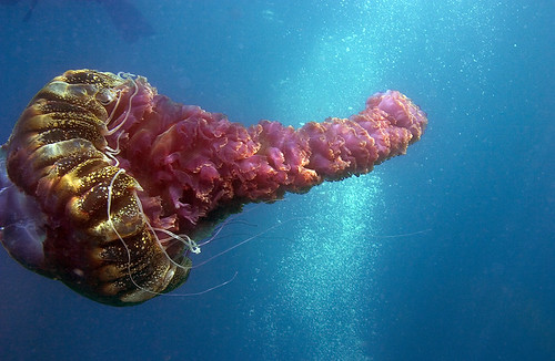 Black Sea Nettle jellyfish (Chrysaora achlyos)