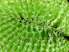 Salvinia minima LF2e (L) (Lynch Images) Tags: fern waxy hairs salvinia pteridophyta waterfern trichomes pterophyta salviniales karibaweed