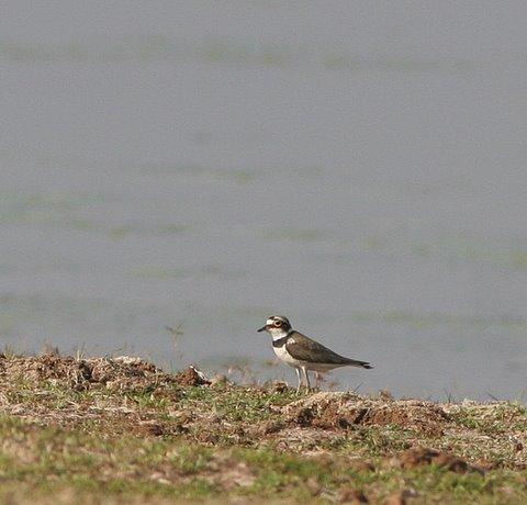 little ringed plover tghalli