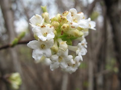 fragrant viburnum (Brooklyn Botanic Garden) Tags: bbg brooklynbotanicgarden earlyspring photographermediblum
