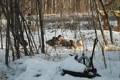 Fat Ducks (Kelly Peissner) Tags: alaska ducks northpole