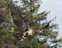 In Flight (Elizabeth Gadd) Tags: fish beach fly flying wings eagle flight young bald crescent