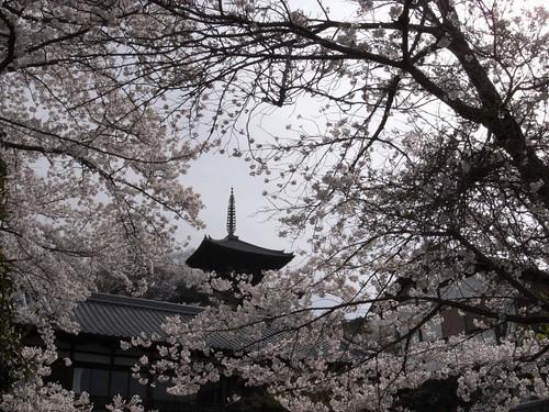 当麻寺(桜)