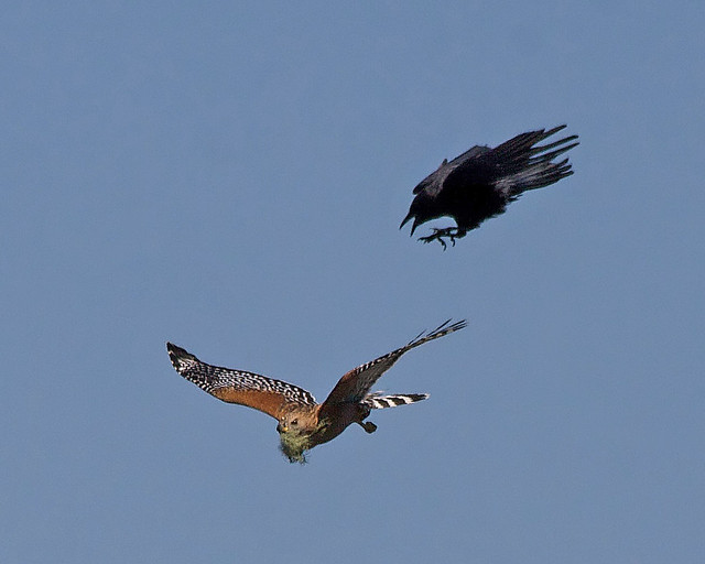 Red-shouldered Hawk and Crow