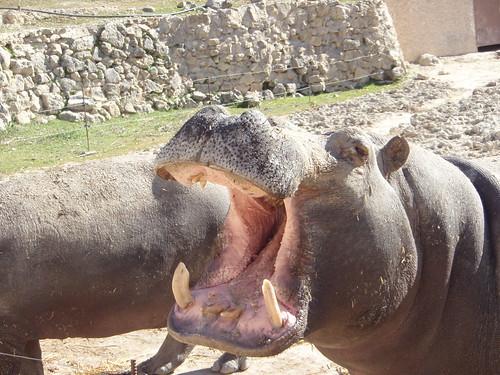 Hipopótamo en el Safari Aitana