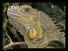 iguana (oly--E3) Tags: naturesfinest tepasaste