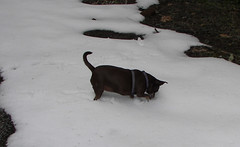 Hyzzie digs for a snow ball