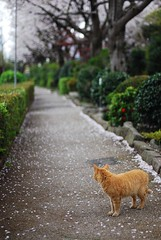 And looked down one . . . (amirjina) Tags: road green japan cat ginger petals long blossom path amir   sakura winding   bushes vis shizuoka wistful jina numazu       nishiko