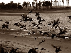 The Birds (Majdy) Tags: ocean california bird birds sepia flying sandiego thebirds missionbeach indonesianphotobloggers