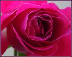 Flower head (tracyhughes2_7. CPAGB LRPS) Tags: pink flower macro nature petal digitalcameraclub supershot fantasticflower mywinners diamondclassphotographer flickrdiamond thesuperbmasterpiece 100commentgroup theperfectpinkdiamond