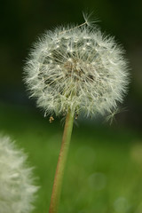 does the wish still count... (chromatophobe) Tags: flower dandelion seeds makeawish